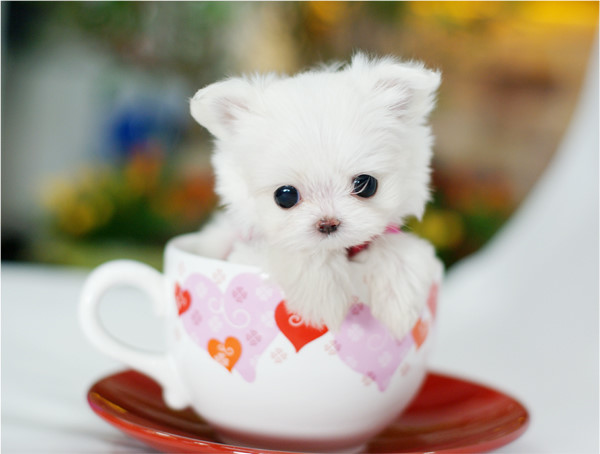 cute cup puppies